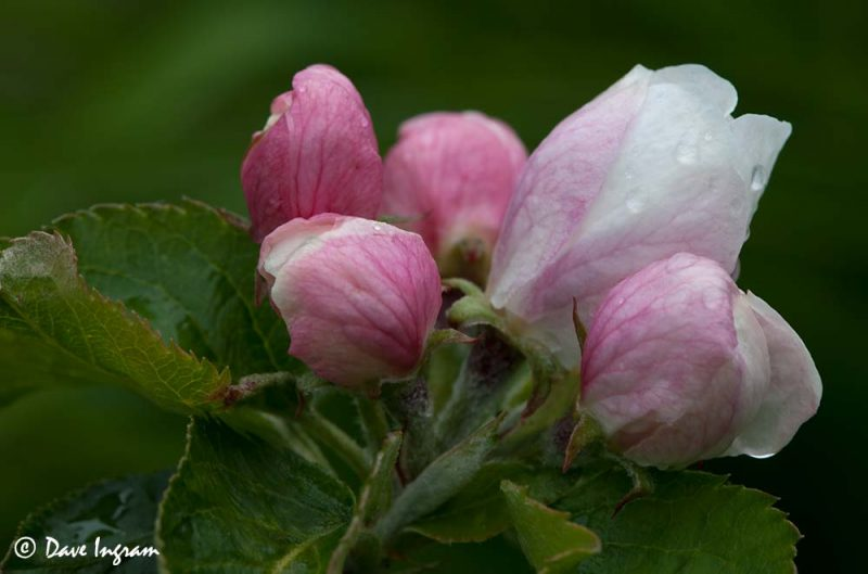 Apple Blossoms #1