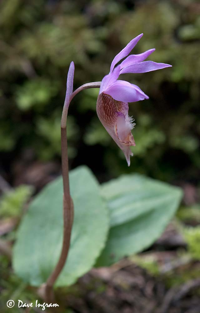 Fairyslipper (Calypso bulbosa)