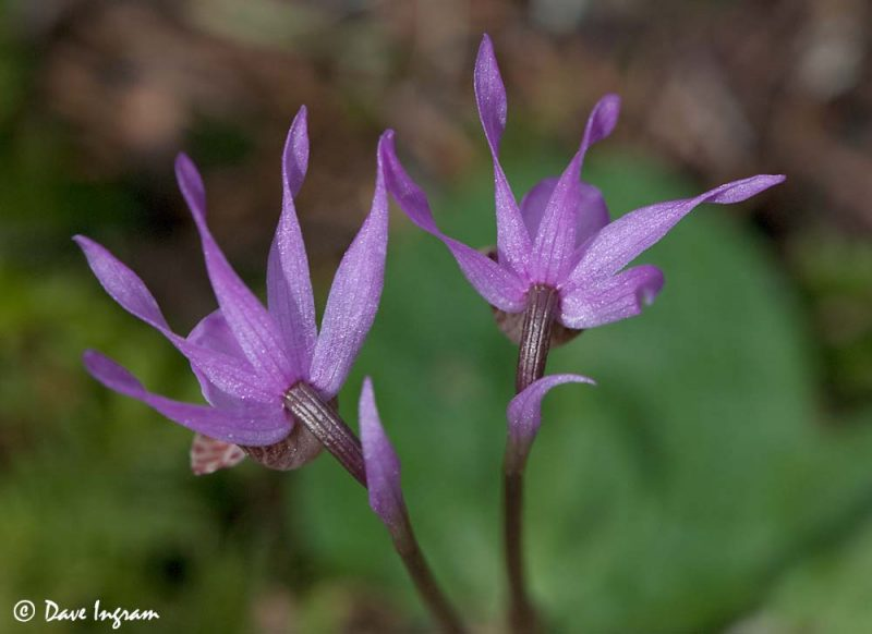 Fairyslippers (Calypso bulbosa)