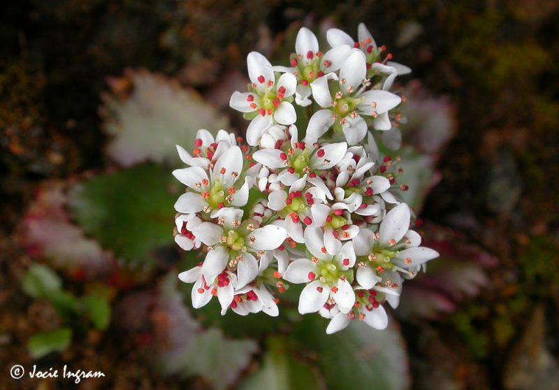 Rusty-haired Saxifrage (Saxifraga rufidula)