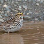 Savannah Sparrow (Passerculus sandwichensis) #1