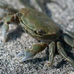 Shore Crab