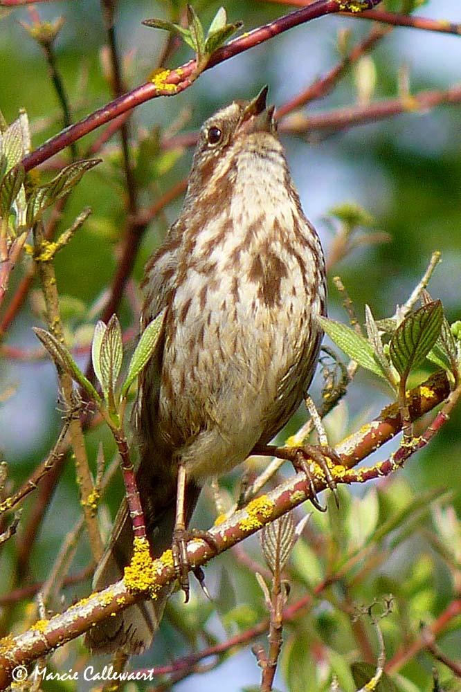Song Sparrow (Melospiza melodia) #1 © Marcie Callewaert