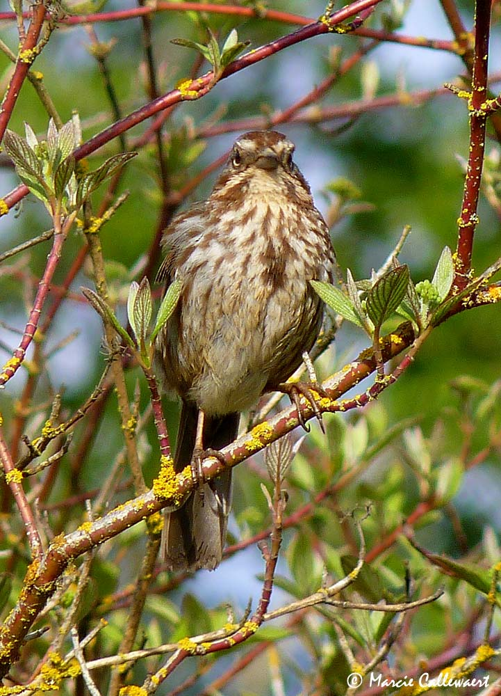 Song Sparrow (Melospiza melodia) #2 © Marcie Callewaert