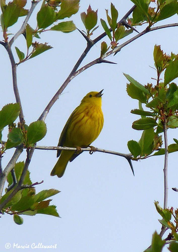 Yellow Warbler (Dendroica petechia) © Marcie Callewaert