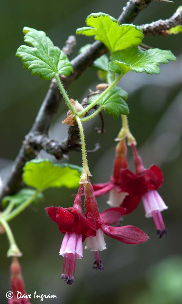 Gummy Gooseberry (Ribes lobbii) #4