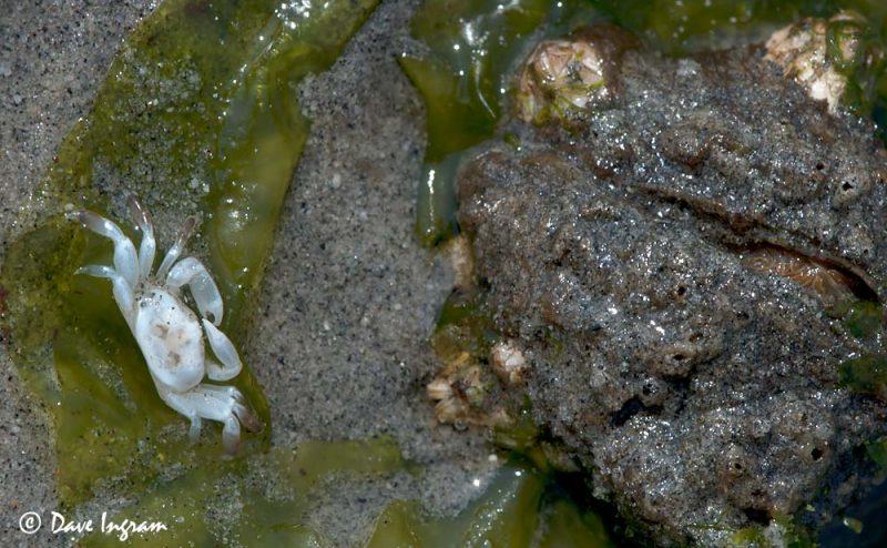 Pea Crab (Pinnixa sp.) and Fat Gaper (Tresus capax) siphon