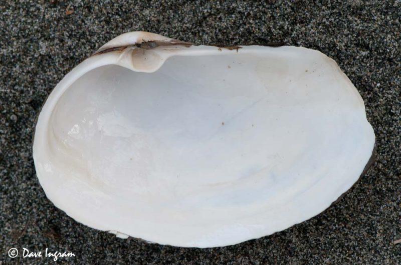 Pacific Gaper (Tresus nuttallii) interior