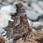 Zephyr Anglewing (Polygonia zephyrus) - Underside of Wings