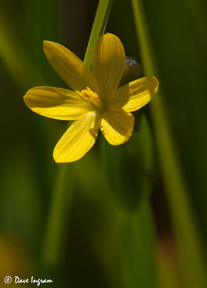 Golden-eyed Grass (Sisyrinchium californicum)