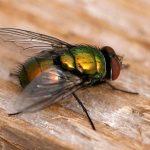 Green Bottle Fly (Lucilia illustris?)