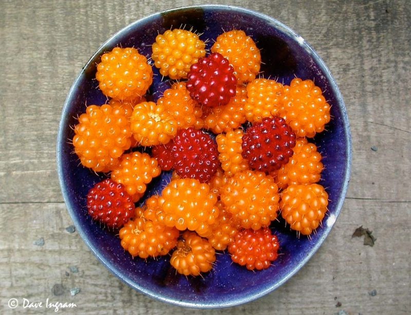 Bowl of Salmonberries (Rubus spectabilis)
