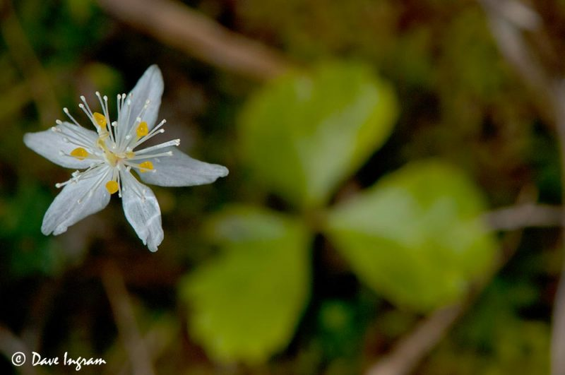 Three-leaved Goldthread (Coptis trifolia)
