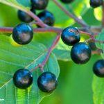 Cascara (Rhamnus purshiana) Berries