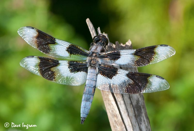 Eight-spotted Skimmer (Libellula forensis)