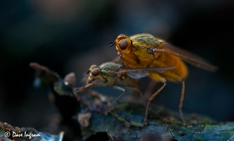 Golden-haired Dung Flies (Scathophaga stercoraria) Mating