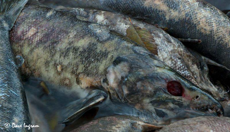 Chum Salmon (Oncorhynchus keta) detail