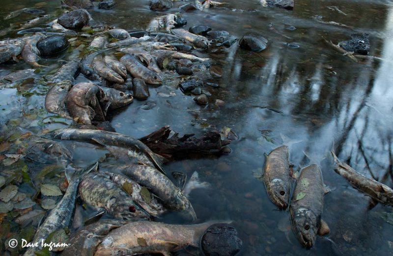 Chum Salmon (Oncorhynchus keta) in a side channel