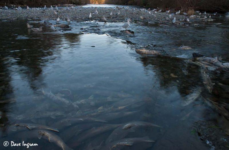 Gulls feeding on Chum Salmon (Oncorhynchus keta)