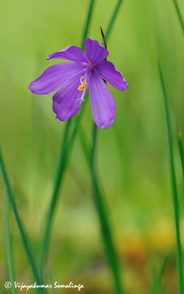 Satinflower (Olysnium douglasii)
