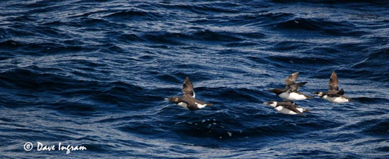 Common Murres (Uria aalge)