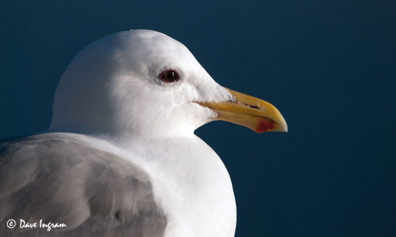 Glaucous-winged Gull (Larus glaucescens) #1