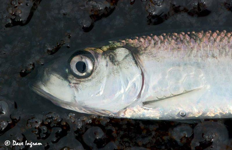 Pacific Herring (Clupea pallasi)