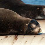 California sea lions (Zalophus californianus)