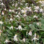 White Fawn Lilies (Erythronium oregonum)
