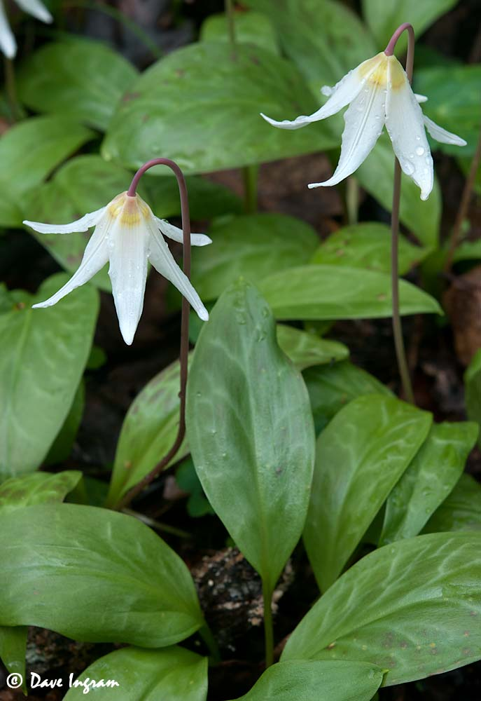 A Pair of White Fawn Lilies (Erythronium oregonum)