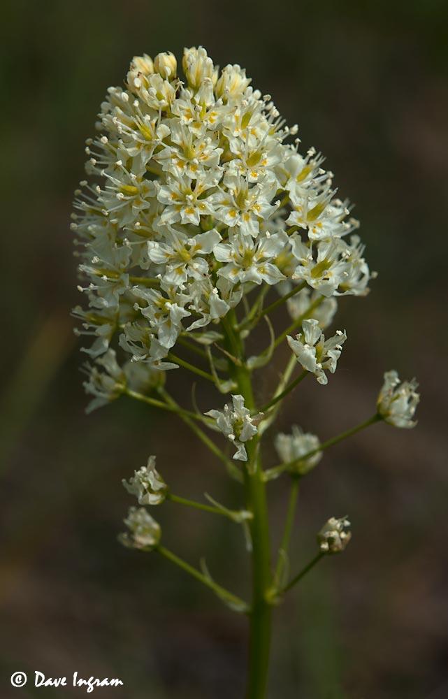 Meadow death-camas (Zygadenus venenosus)