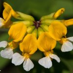 Bog Birds-foot Trefoil (Lotus pinnatus)