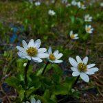 Alpine white marsh-marigold (Caltha leptosepala)