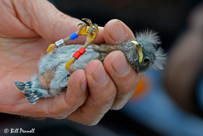 Banded Western Bluebird (Sialia mexicana) Nestling