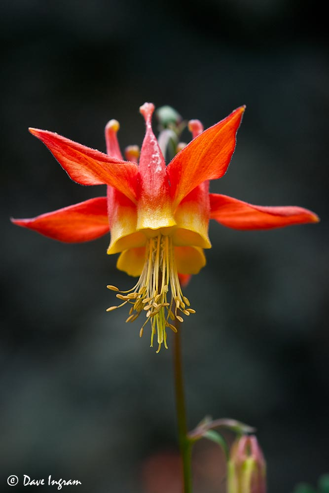 Red Columbine (Aquilegia formosa)