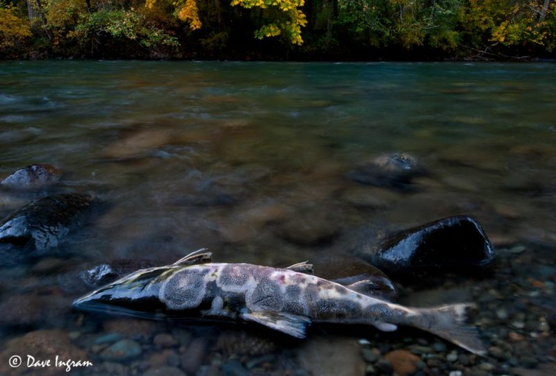 Chum Salmon (Oncorhynchus keta) and Fall Colours