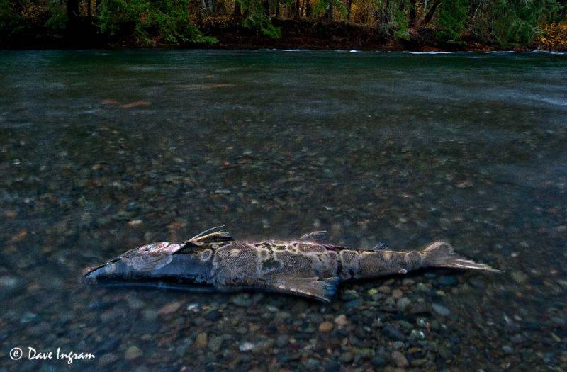 Chum Salmon (Oncorhynchus keta) - Puntledge River