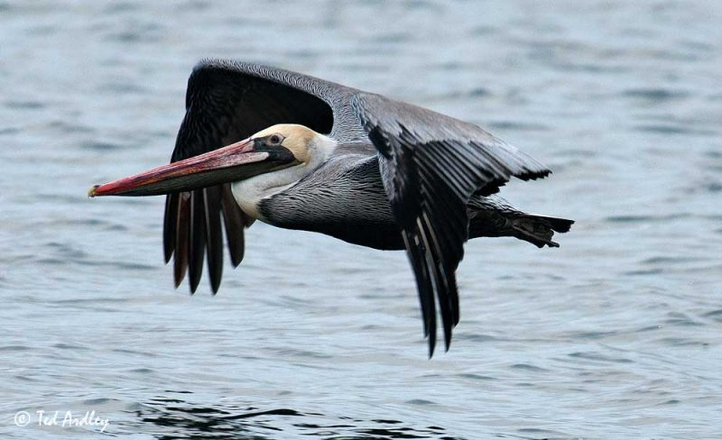 Brown Pelican (Pelecanus occidentalis) © Ted Ardley