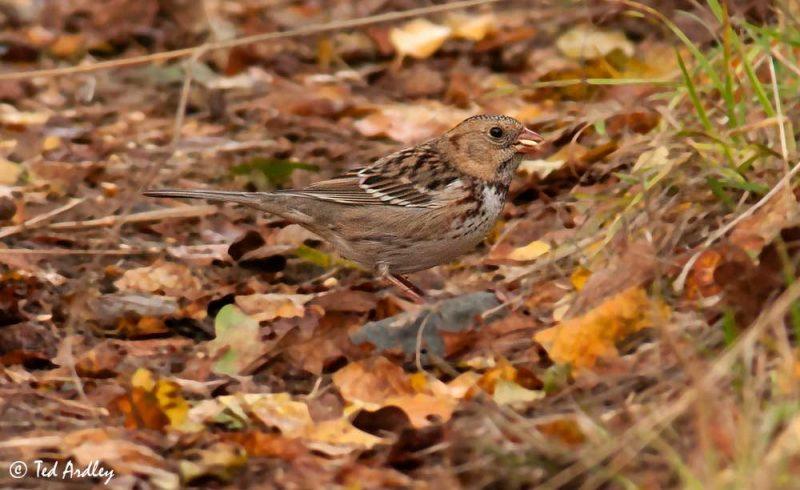 Harris's Sparrow (Zonotrichia querula) © Ted Ardley