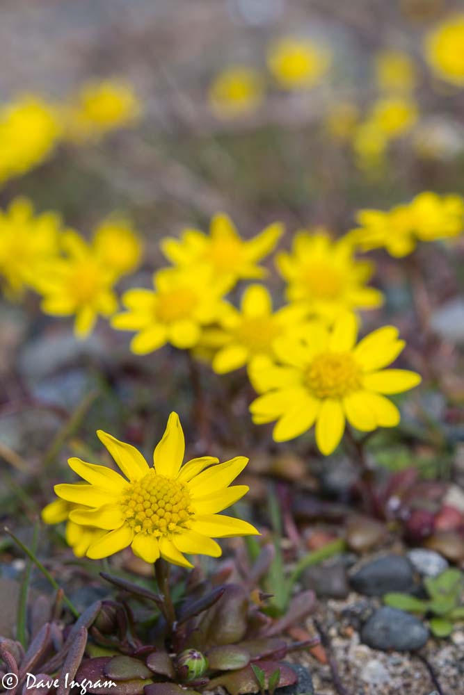 Gold Stars (Crocidium multicaule) at Point Holmes
