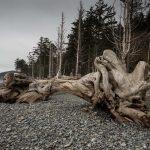 Drift Logs at Rialto Beach