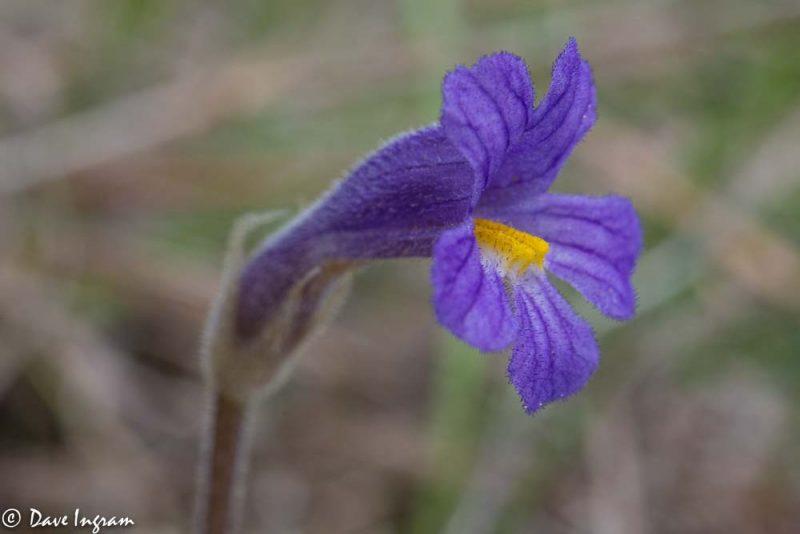 Naked Broomrape (Orobanche uniflora)