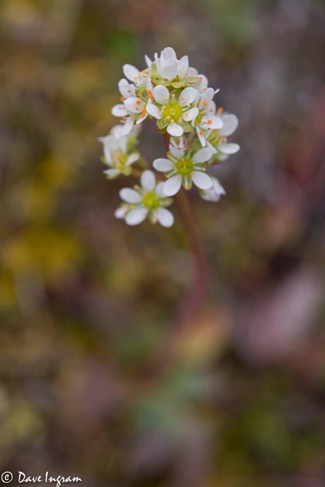 Grassland Saxifrage (Saxifraga integrifolia)