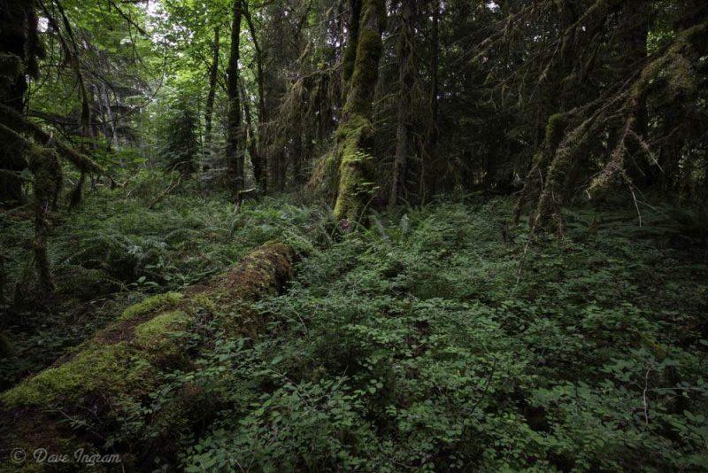 Red Cedar in Dark Forest