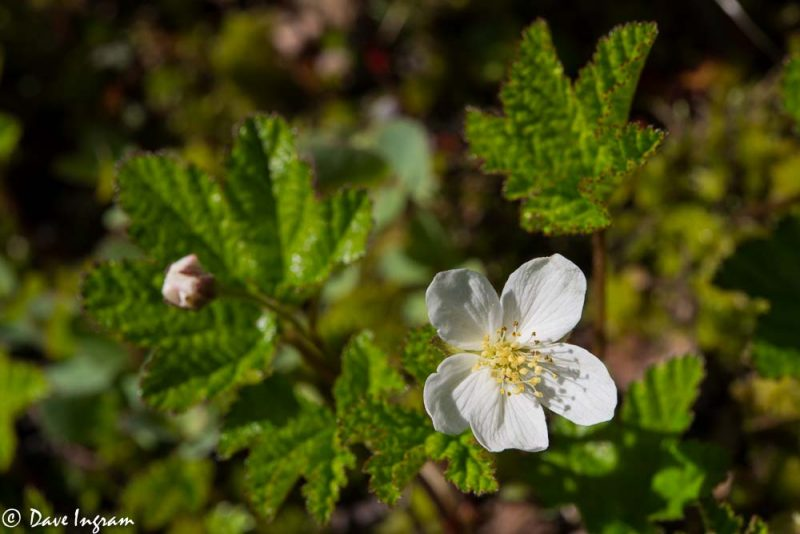 Cloudberry (Rubus chamaemorus)
