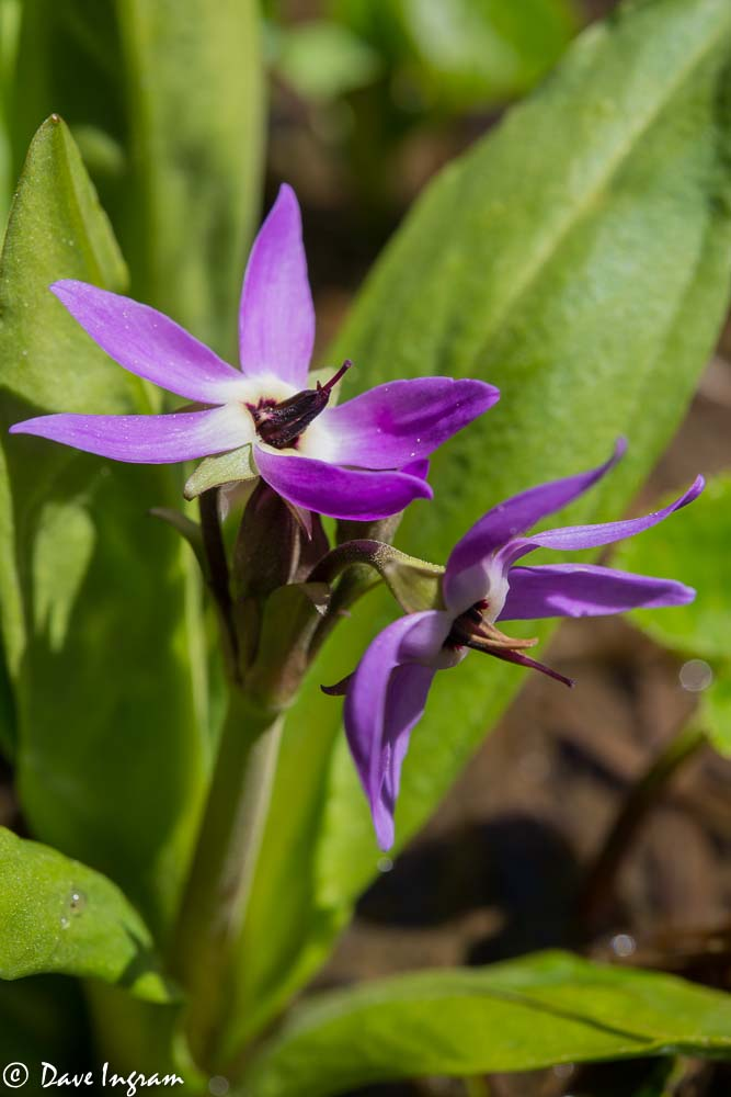 Jeffrey's Shootingstar (Dodecatheon jeffreyi)