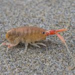 California beach hopper (Megalorchestia californiana)