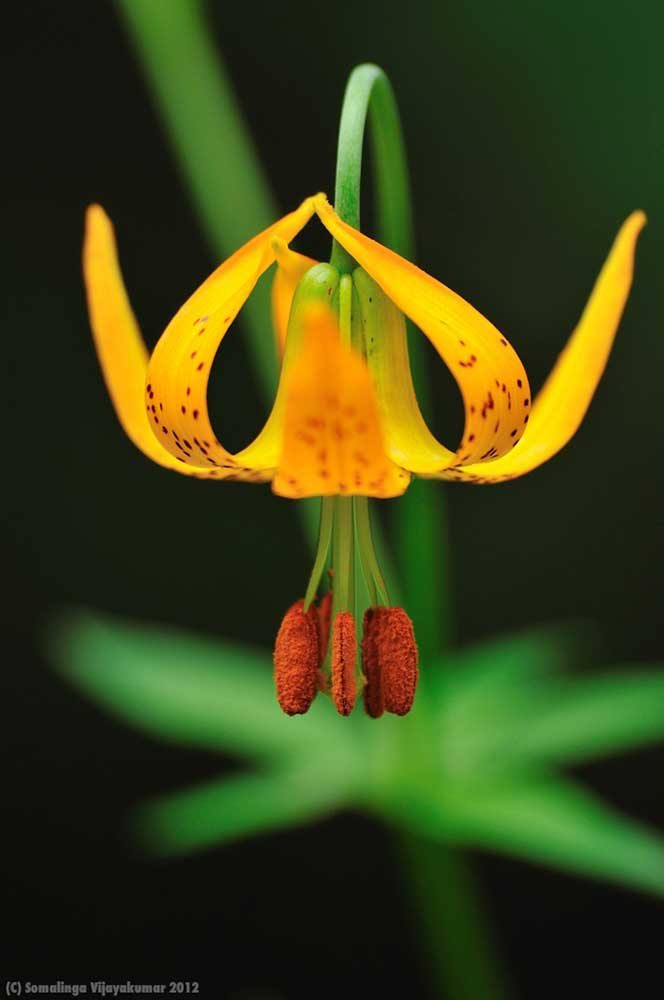 Columbia lily (Lilium columbinum)