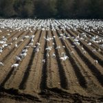 Snow Geese (Chen caerulescens) in Field