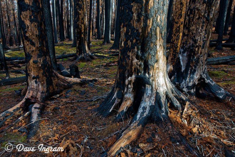Burned Ponderosa Pines